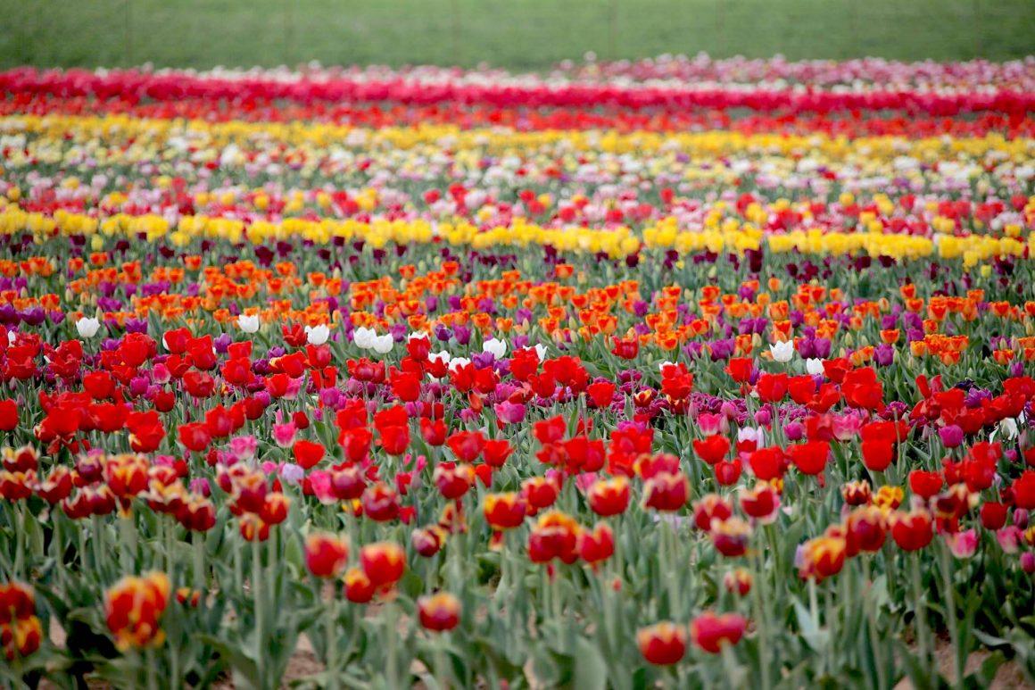 Tulipani Italiani